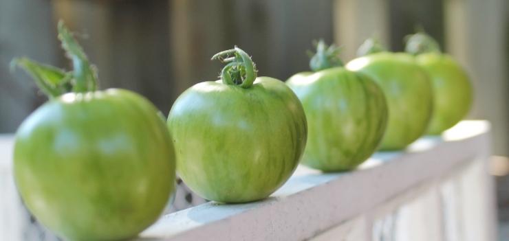 green zeebra heirloom tomatoes