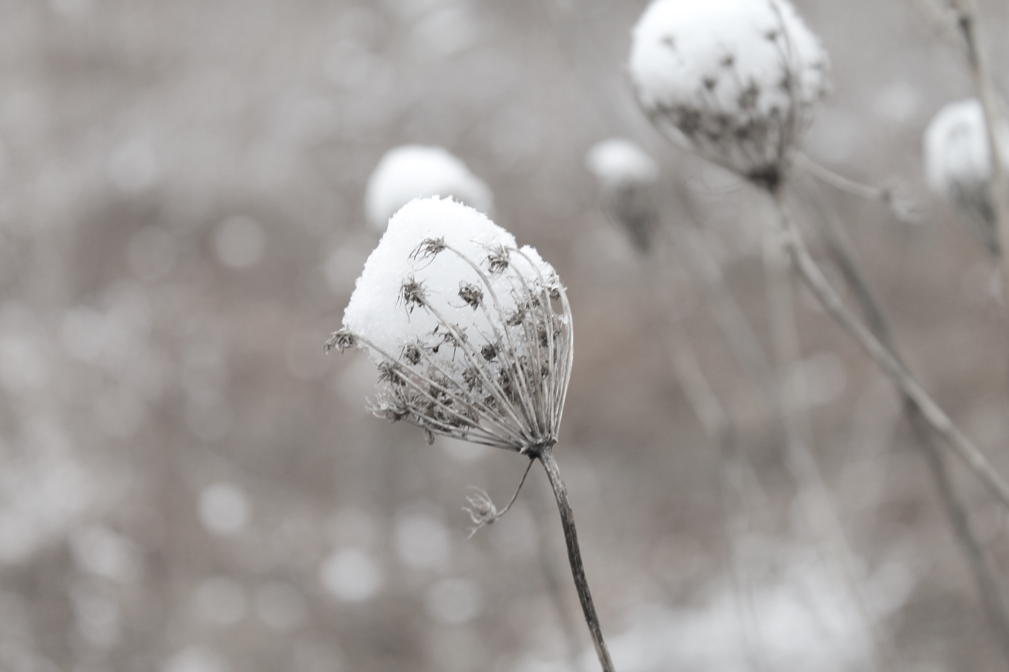 queen anne lace in the snow