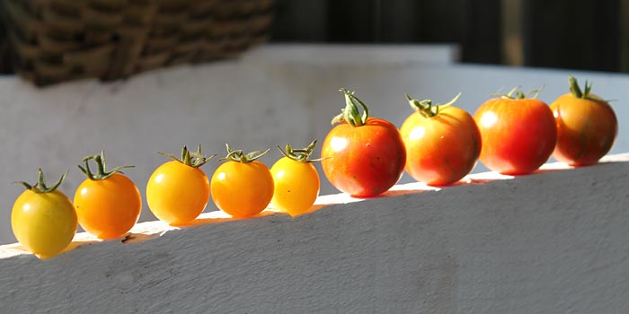 Heirloom Tigrella tomatoes in a row