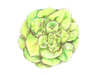Heirloom Bibb Lettuce