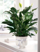 """Our creamy white ceramic planter holds an elegant peace lily plant. Planter is simply enriched by a white ribbon bow bearing words of """"comfort"""". Dark green leaves offer a calm background for the white candle-like blooms of this easy to care for plant."""