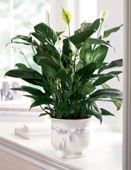 "Our creamy white ceramic planter holds an elegant peace lily plant. Planter is simply enriched by a white ribbon bow bearing words of ""comfort"". Dark green leaves offer a calm background for the white candle-like blooms of this easy to care for plant."