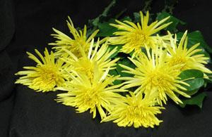 Sunny yellow Anastasia Chrysanthemums for a happy, and prosperous New Year!! Gung Hay Fat Choy! Or Gung Hei Fatt Choy! These are bunches of eight!! Happy Anastasia Chrysanthemums,to one and all.