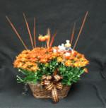 Fall double Chrysanthemum basket