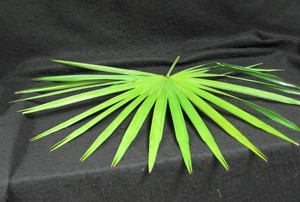 Purchase these palms for your church this lenten and Easter season. Plam can be divided up into singles for distribution. Keep in water.