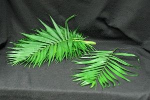 Purchase these palms for your church for Easter or Palm Sunday. These palms come in a bunch of usually 18-20 stems. order early please.