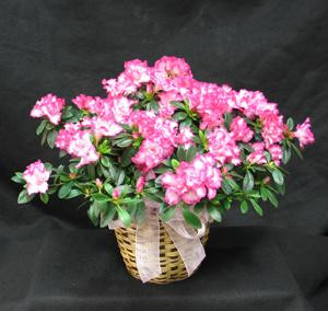 Send a Spring like Azalea to brighten up the home. Flowering azaleas in white, pale pink, variegated pink and white and red are available.