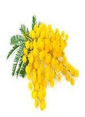 Fragrant yellow Mimosa from Italy. Lucky are the people that have smelt the fragrance in the countryside. We can deliver your Mimosa in Toronto, North York, or in the GTA. March 8th for IWD International Women's Day. Order today do not delay!