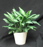 Aglaonema plants are great for low light areas. They help clean the air in the office or home. leaf markins green, light green, yellowish gold and silver.