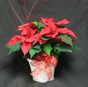 The perfect 6 inch Poinsettia, in a wicker basket with a bow and Dog wood. Ontario Poinsettias, grown with pride by Canadian growers in the Golden Horseshoe.