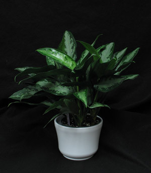 Aglaonemas grow in low light and help clean the household air. One of the10 plants NASA has found to clean your air. This plant is in the Aroid family. Aglaonema white rain elite.