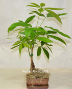 Money Tree pachira Glabra. Send your good luck wishes for Chinese New year or a business opening.