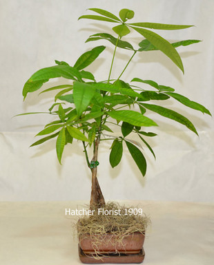 Money Tree on chinese perfume plant, coin plant, chinese dollar plant, chinese lucky plants, chinese people plant, chinese fringe plant, chinese coin tree, chinese plants and trees, chinese palm plant, chinese bamboo plant, chinese bamboo tree, chinese new year good luck plant, chinese house plants, chinese jasmine plant, chinese dragon plant, calathea ornata plant, chinese good luck money plant, chinese fern plant, chinese good luck tree, lucky money plant,