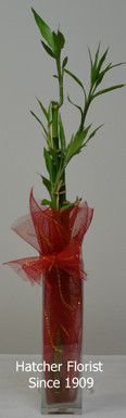 Luck Bamboo in a tall glass vase height is 75 cm. bring luck and good fortune for the New Year and Always. Just add water weekly and some liquid fertilizer once a month.