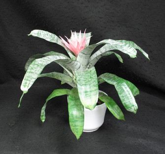 Lovely soft pink flower. Very stiff waxy foliage. Sharp edges on the leaves. Silver colouring of the leaves. In the pineapple family. Achemea fasciata. Keep water in the center at all times.