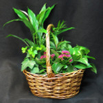 Wicker basket with a selection of tropical and sub tropical foliage plants. We use a flowering kalanchoe and assorted coloured tropical plants in different shades of green.