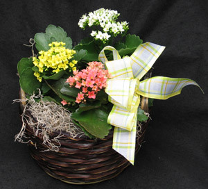 Mixed bright Kalanchoes in a basket or simple ceramic dish.