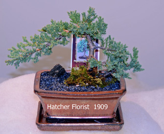 Bonsai Juniper small cascade. great for the beginner. Water every two days, place in a bright location but protected from direct sunlight. Fertilize May to october using 30-30-30 or Schultz liquid.