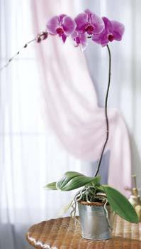 This exquisite blooming Phalaenopsis orchid plant is great for orchid plant beginners and is a luxurious way to celebrate a wide variety of occasions. Ceramic pot may vary. Best care once a week soak in water the bark or moss for 30 minutes, then drain away the water. Place back in a bright location. No direct sunlight.