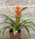Orange Guzmania Bromeliad a tropical plant that is very long lasting. Always make sure a little water is in the central part of the leaves.