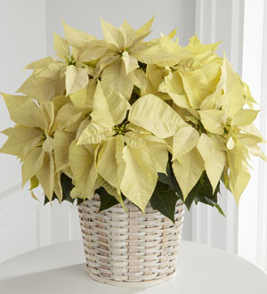 The FTD® White Poinsettia Basket (Large).The elegant winter white poinsettia is a lovely variation to a classic holiday gift. 8 inch plant locally grown and sourced from Niagara Ontario.
