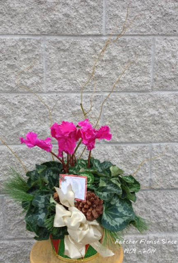 Ontario grown Cyclamen plant in a seasonal basket with branches and a bow. Don't forget the pine cones. Sharples Greenhouse grows these lovel plants for all of Ontario. Let our plant people at Hatcher Florist send one for you for Chritmas or you Holiday Season.