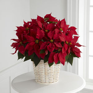 Large Poinsettia in a ten inch pot inside a wicker basket The traditional holiday blooming plant, a Christmas Poinsettia, with its dark leaves and deep red flowers is the perfect gift for family and friends. For U.S. and Canada deliveries only.  Call our Toronto and North York flower shop to get florist quality plants. We deliver all over the GTA.
