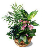 Lush green plants arranged in a natural woven basket and decorated with a raffia bow. Fresh flowers add colour accents. We can vary the colour of the kalanchoe.