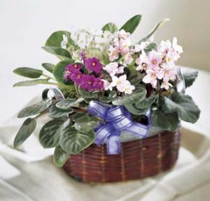 This assortment of colorful African violets is the perfect gift for any occasion. Violets are delivered in a basket and finished with a bow.  Violets grow best in a north facing window or east. Please no direct sunlight.