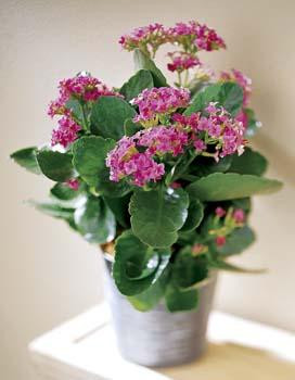 The Kalanchoe plant is living proof. With proper care, it'll last for years. What a wonderful reminder of you! Container may vary. We have different colours. Keep in a bright location for best result.