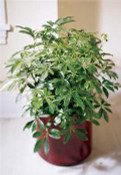 Schefflera Arboricola  are tropical plant will do well in any office or home environment. Place neat a bright window. A great accent for home or office, this lush schefflera grows into a large, bushy plant.