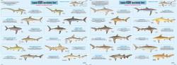Species: Shark Identification Chart