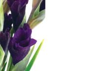 No Message - Purple Gladioli