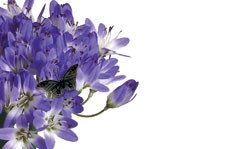 No Message - Blue Agapanthus Butterfly