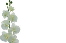 No Message - Cream Orchid