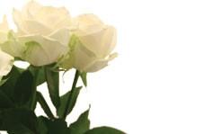 No Message - Cream Roses