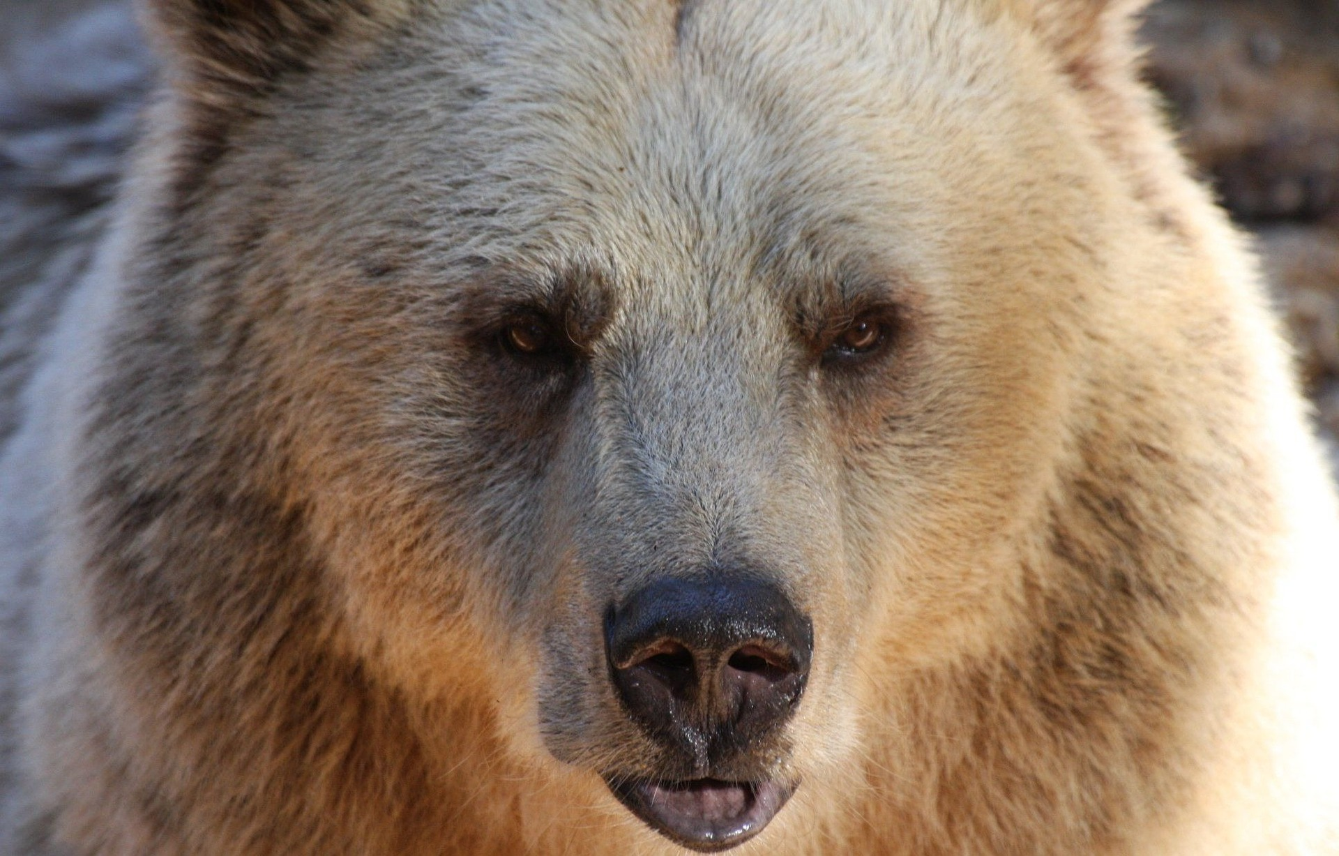 When Do Bears Come Out Of Hibernation Deerbusters Com