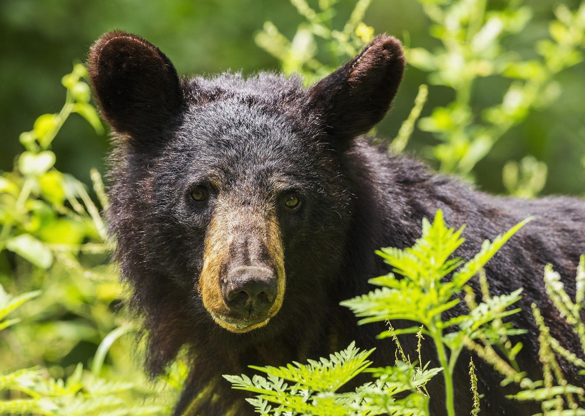 black-bear-1611349-1920.jpg