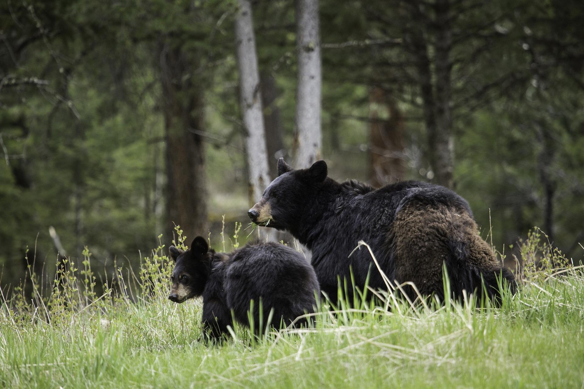 black-bears-1972307-1920.jpg