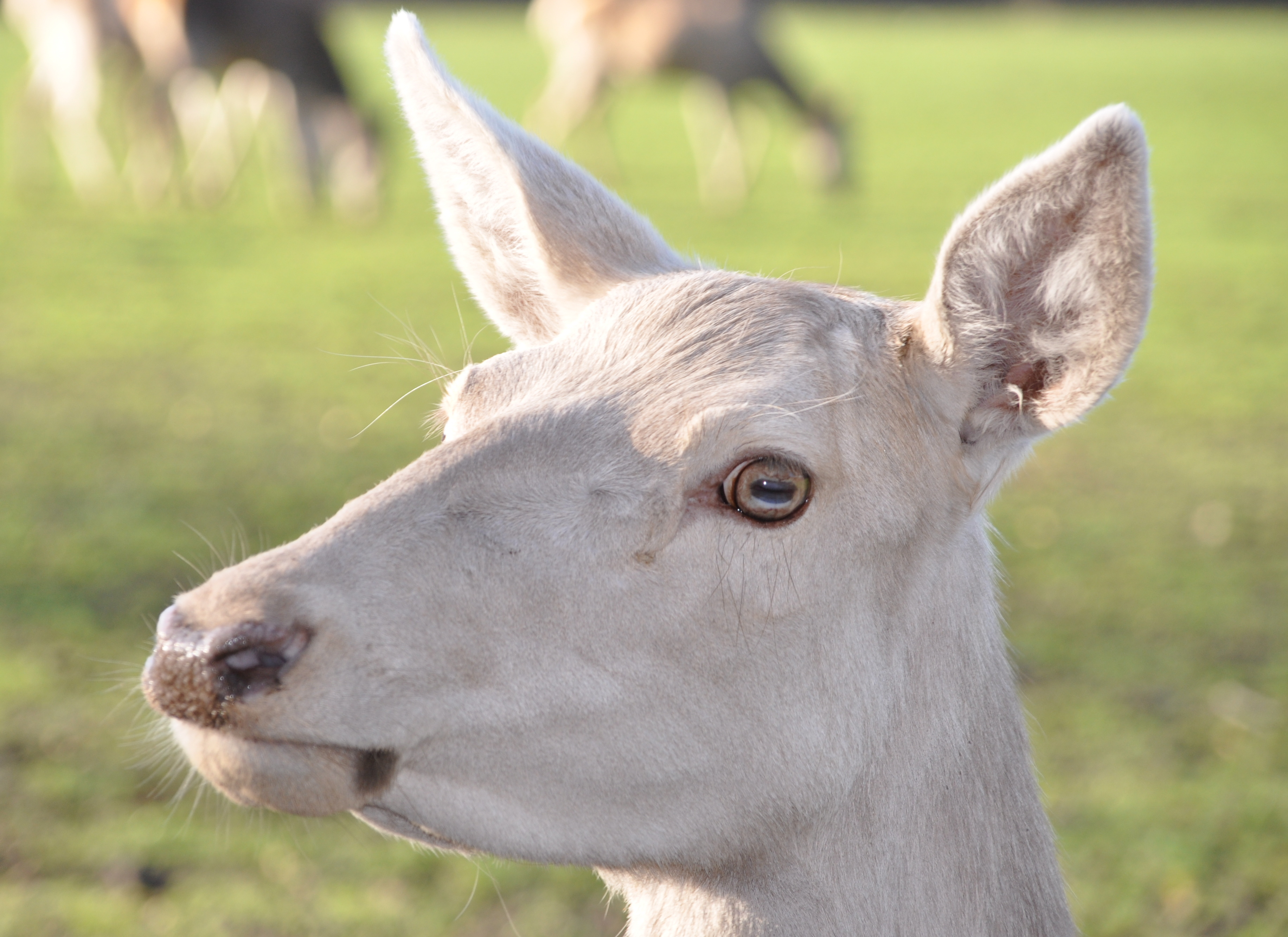 How Much Do You Know About Albino Deer Deerbusters Canada