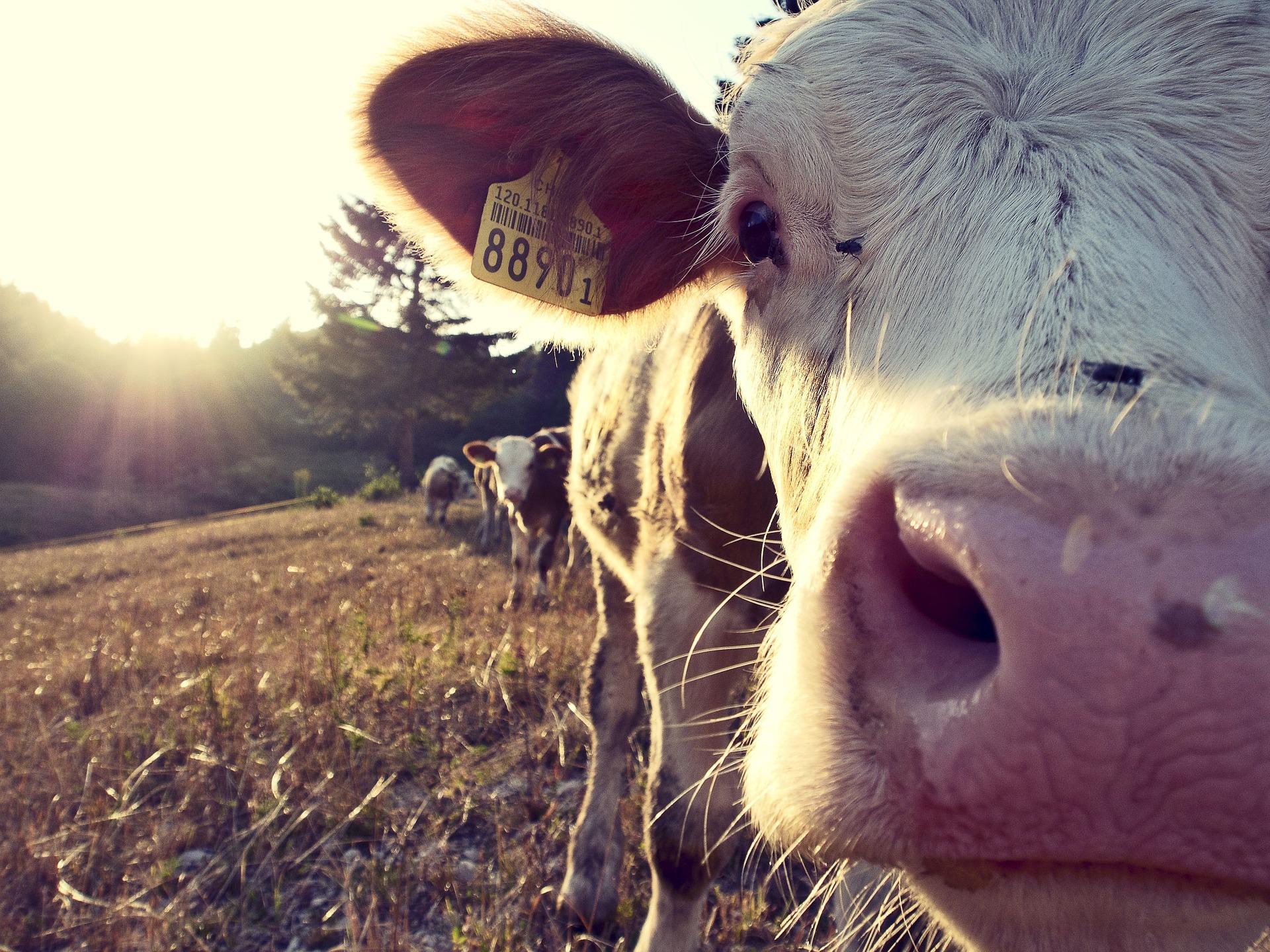 cow-932817-1920-1-.jpg