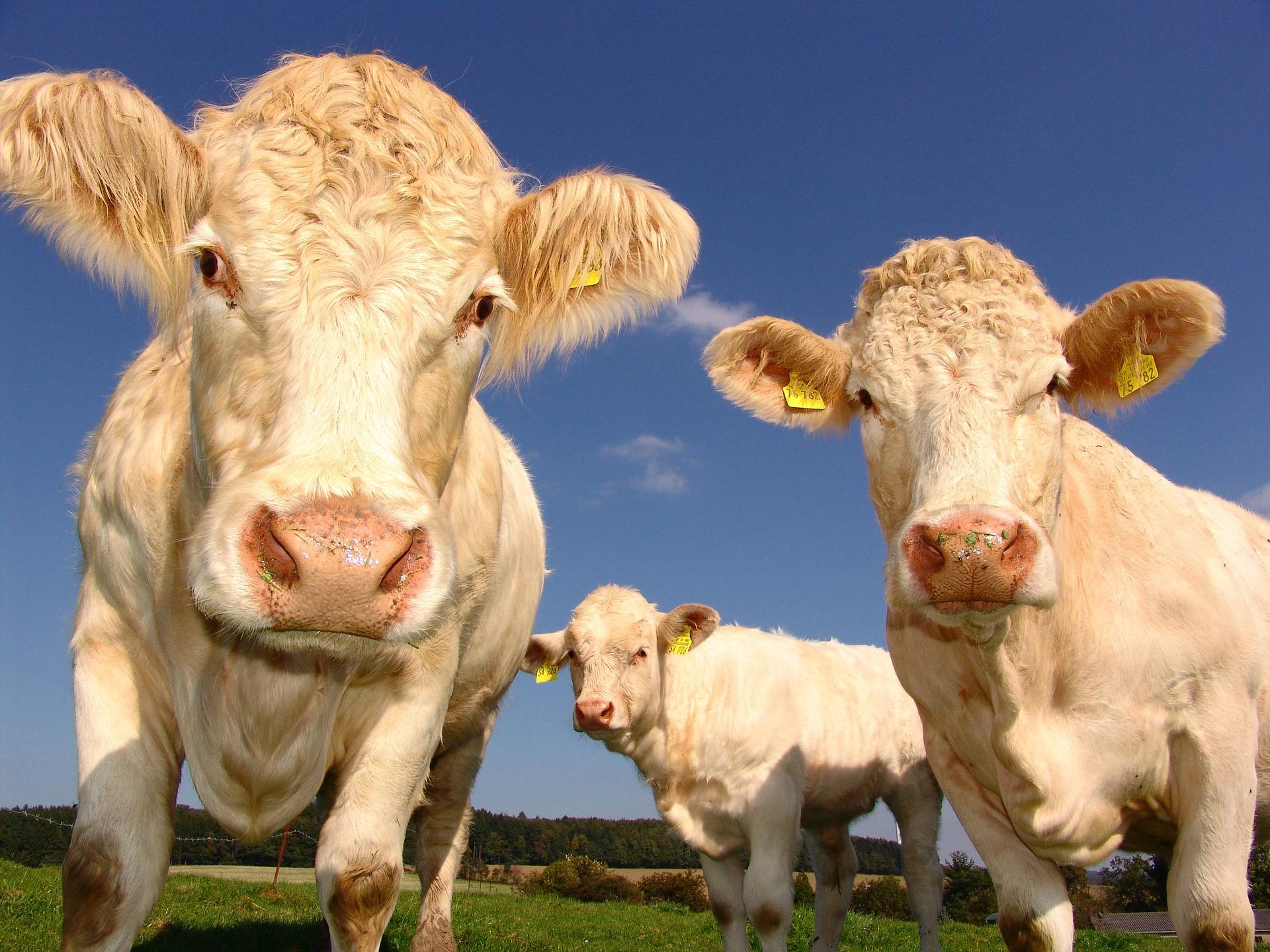 cows-1029077-1920.jpg