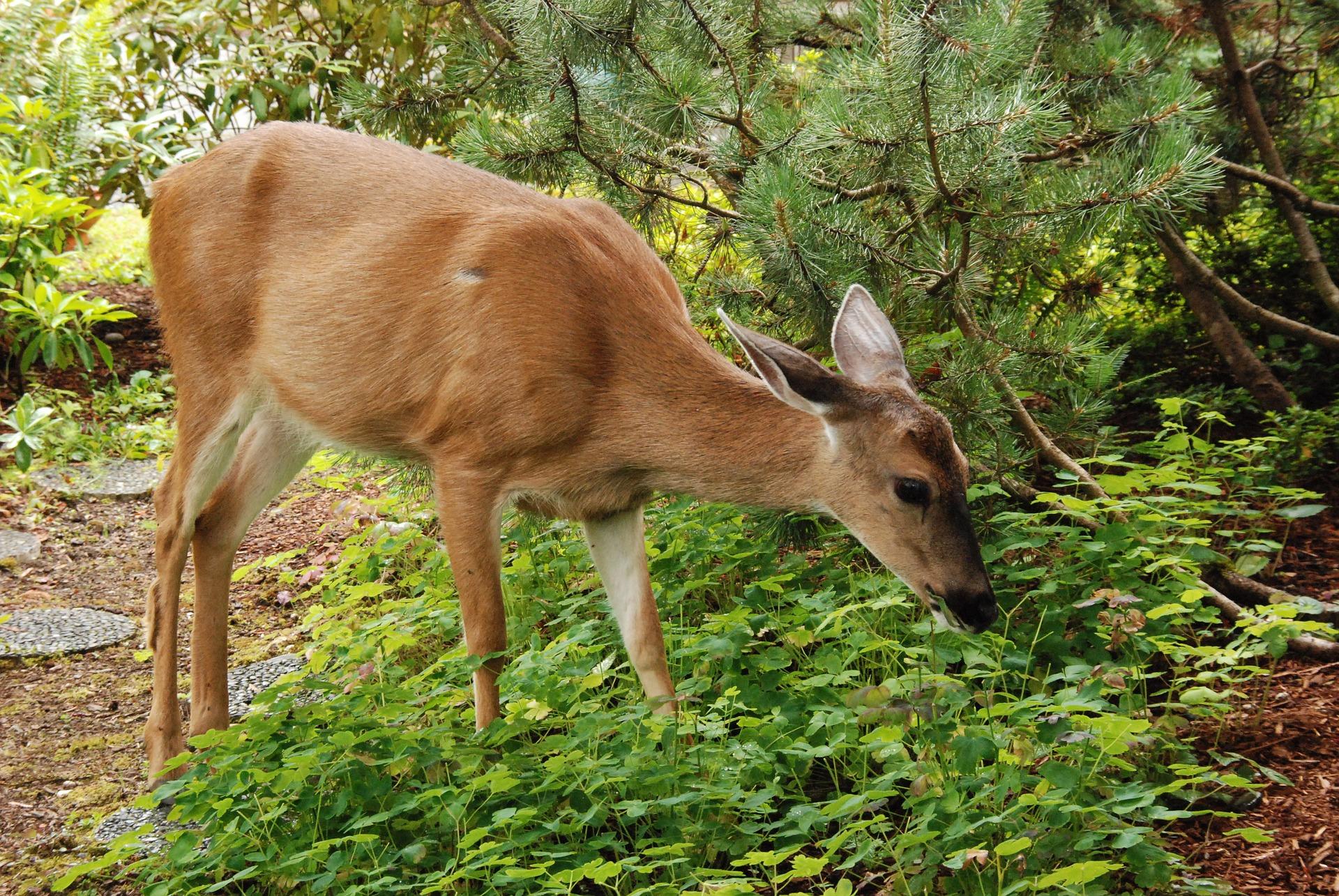 deer-1574655-1920.jpg