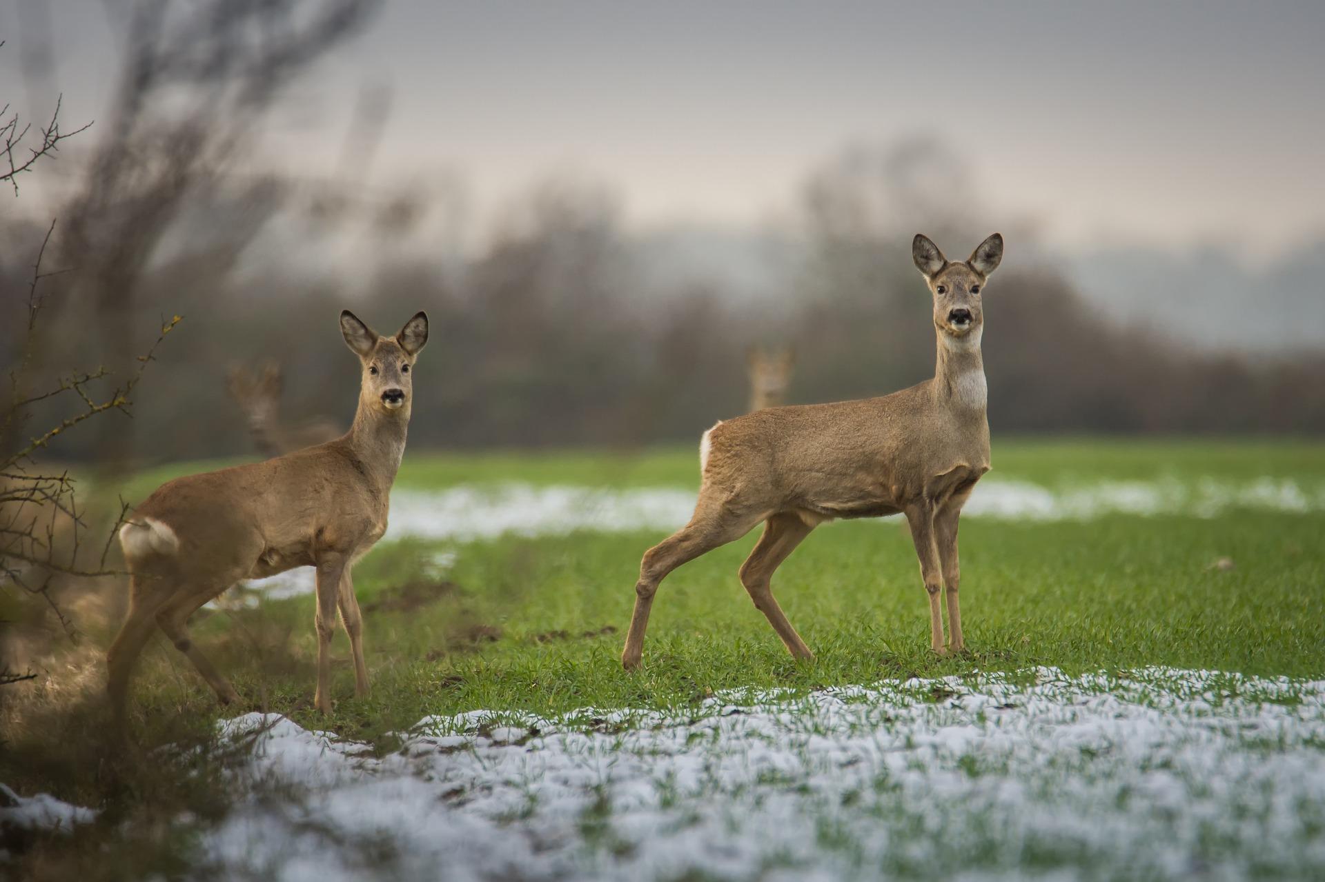 deer-winter.jpg