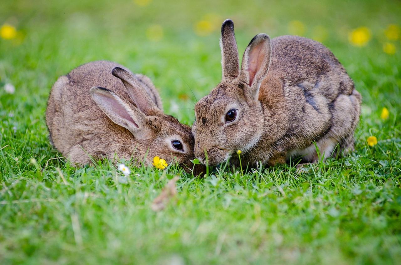 european-rabbits-1006621-1280.jpg