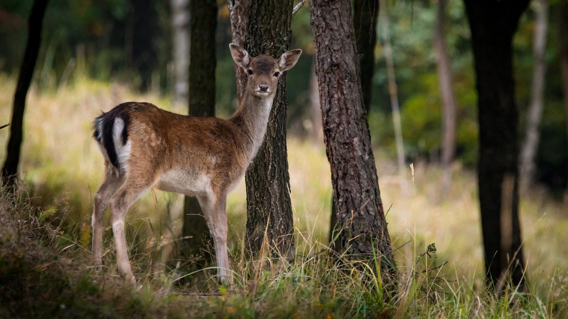 fallow-deer-984576-1920.jpg