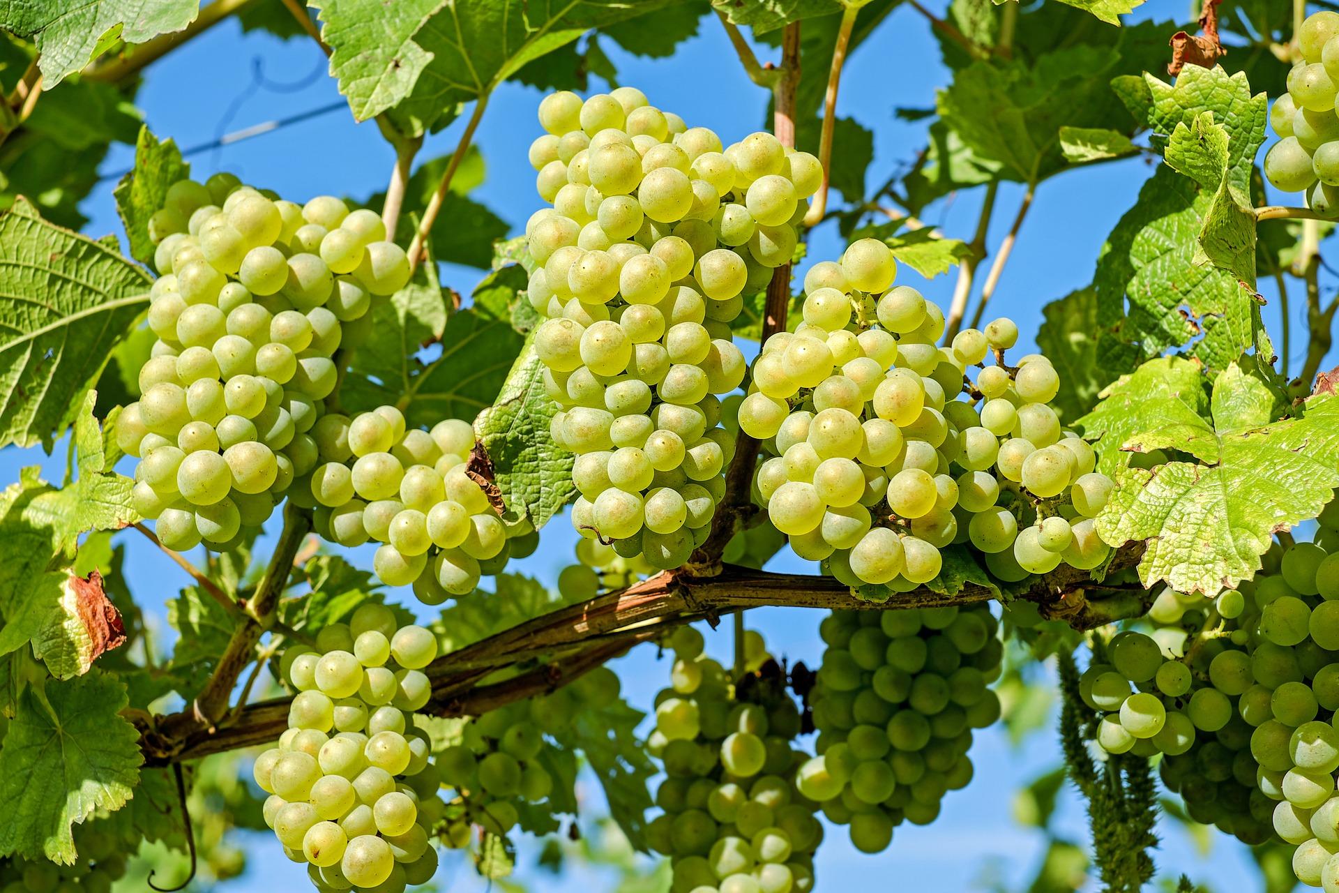 grapes-2656259-1920.jpg