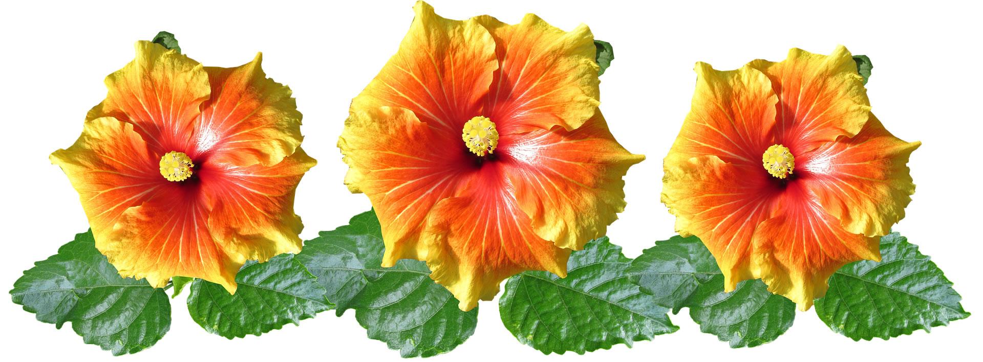 hibiscus-3370253-1920.jpg