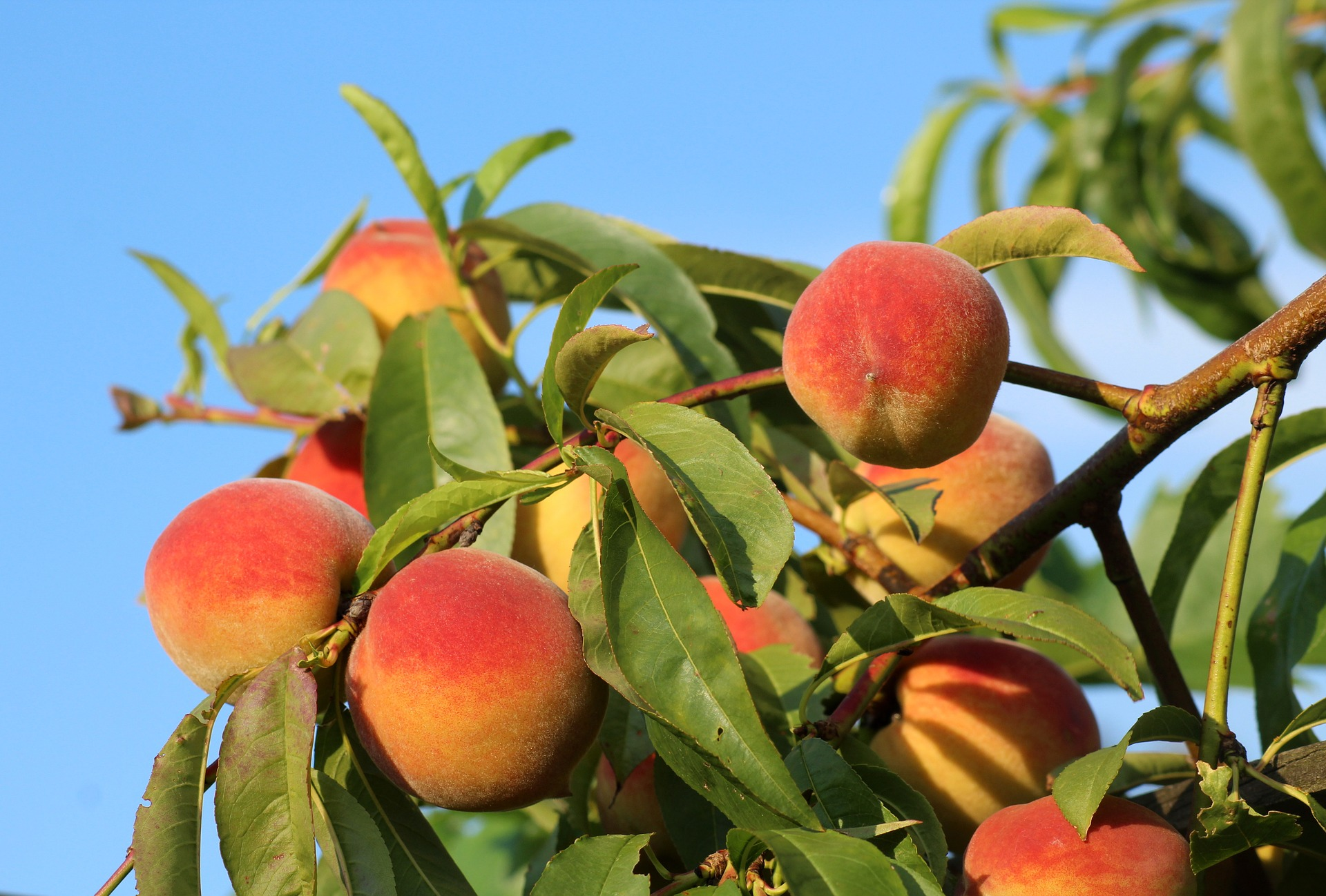 August Is National Peach Month Deerbusters Com