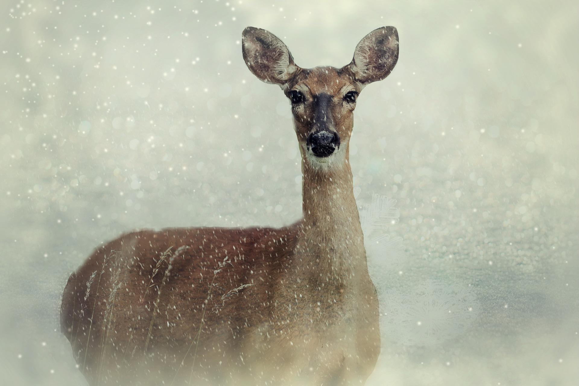 roe-deer-2923854-1920.jpg
